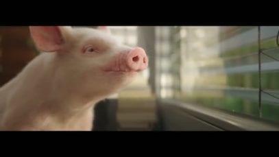 peta tv commercial film pig