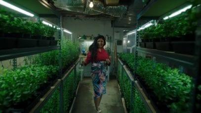 Stevia plant grow home